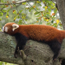 Red Panda Tracking Tour - 9 Days