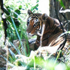 Tiger Tracking Tour in Nepal | 15 Days