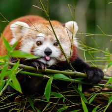 Red Panda Tracking Tour - 14 Days